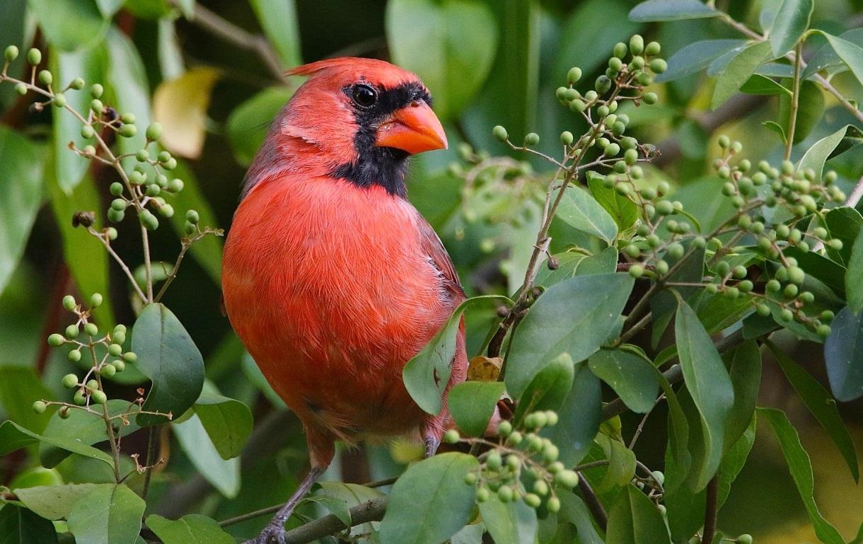 All superstitions regarding the Cardinal Bird
